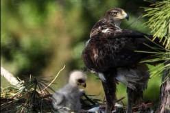 Vila do Bispo muestra en una exposición la vida del águila de bonelli