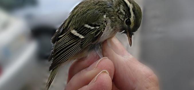 Un ave rara inverna en el centro de Faro