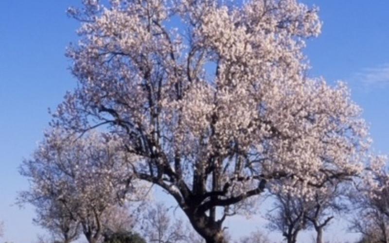 Un paseo por los almendros en flor, con Loulé Creativo