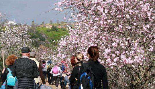 Passeios Pedestres convidam a ver Amendoeiras em Flor